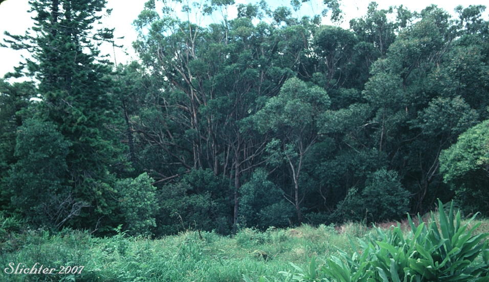 Temperate evergreen forest trees